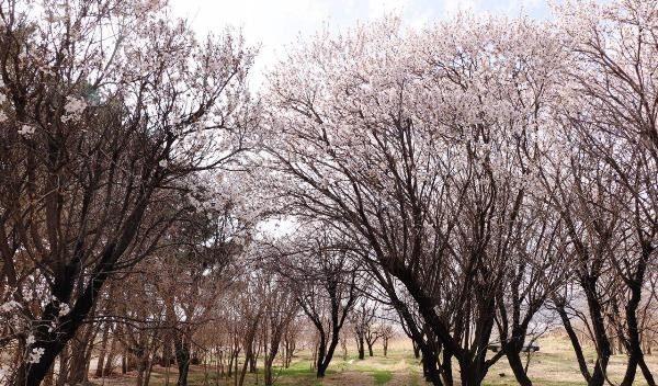 شکوفههای بادام