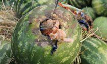 موادمخدر در بار هندوانه